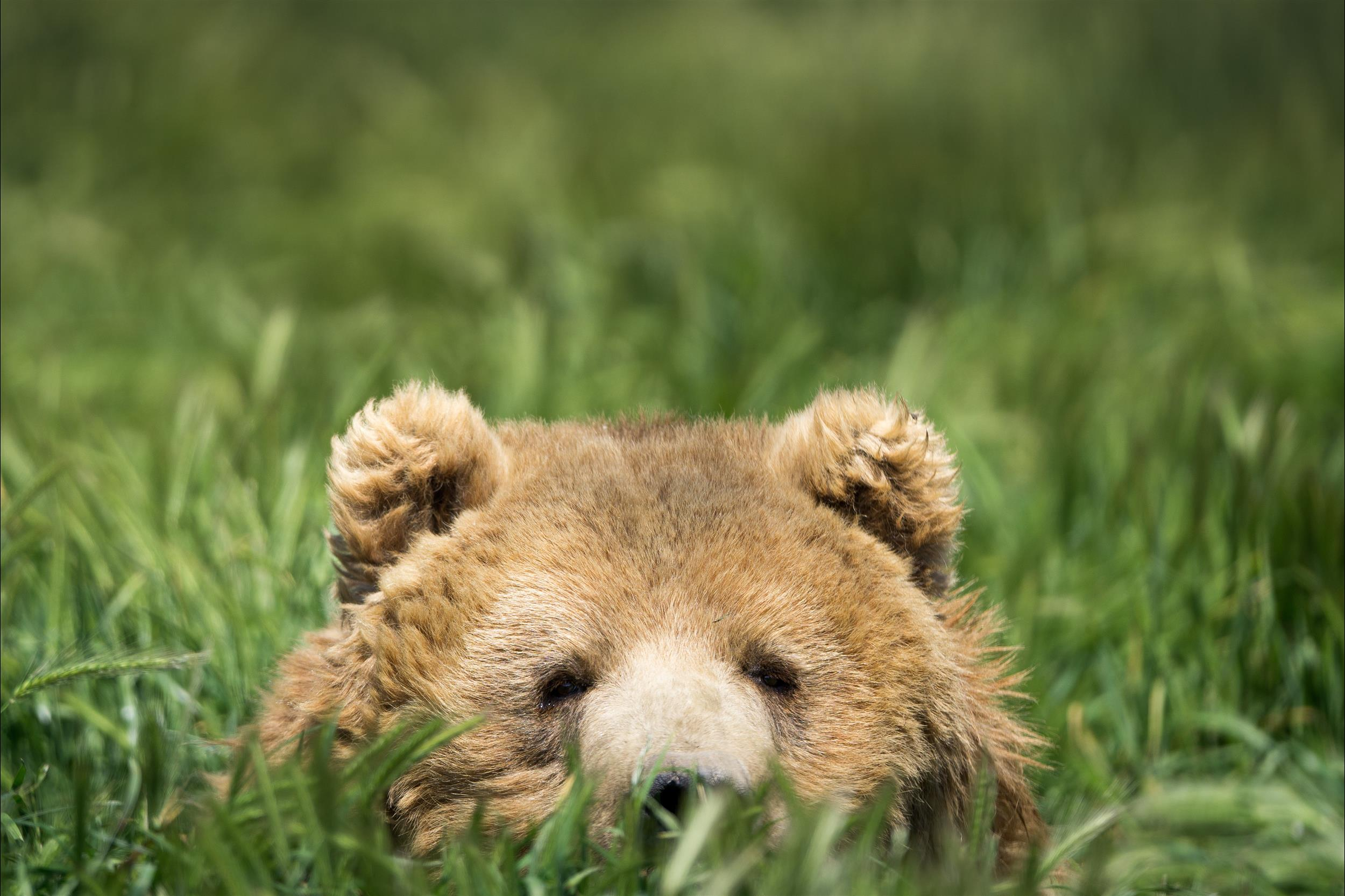 bear in the grass