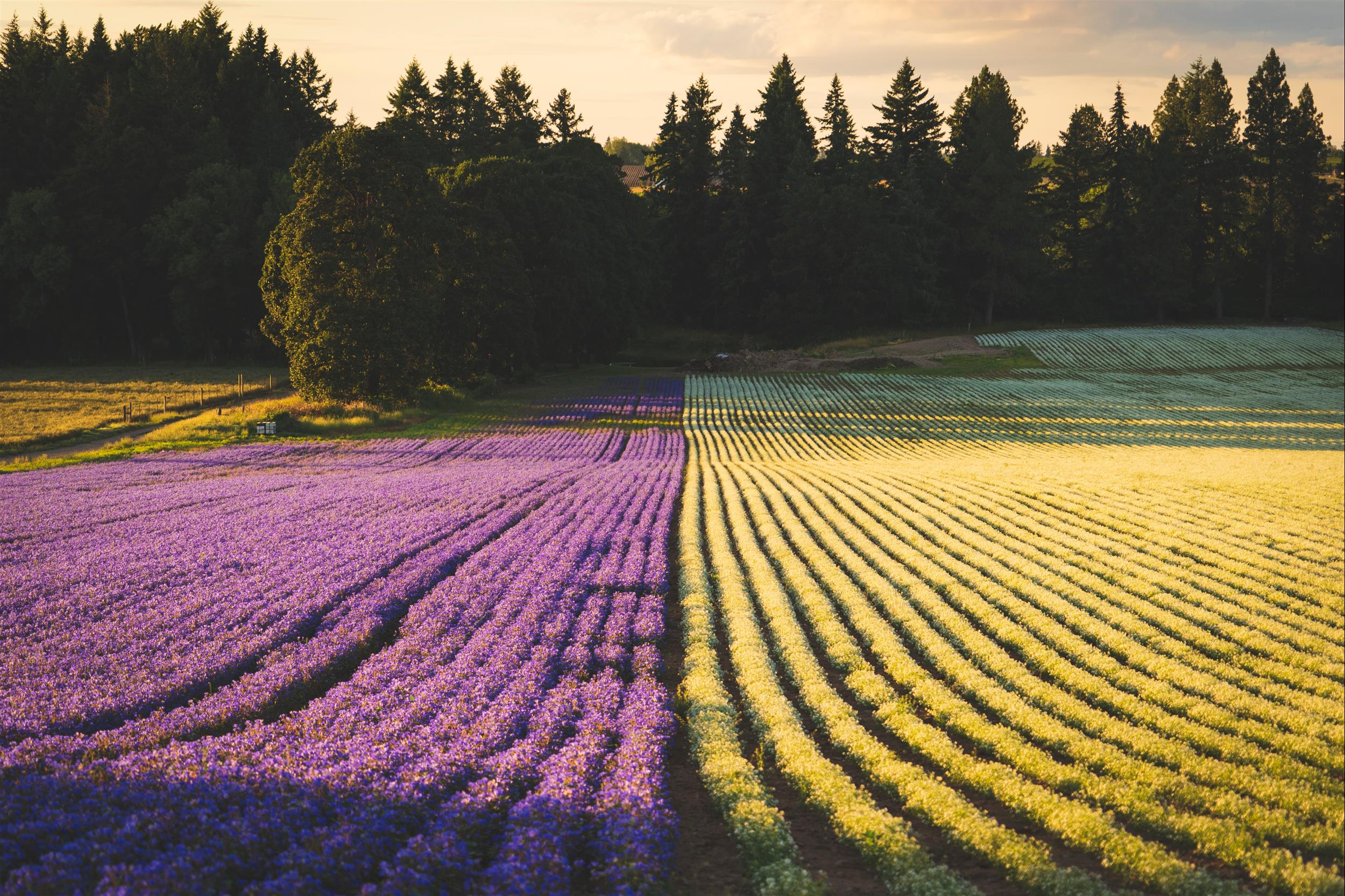rows and rows of purple and yellow flowers and green trees